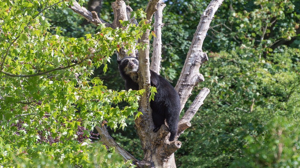 A spectacled Andean bear climbing in a tree