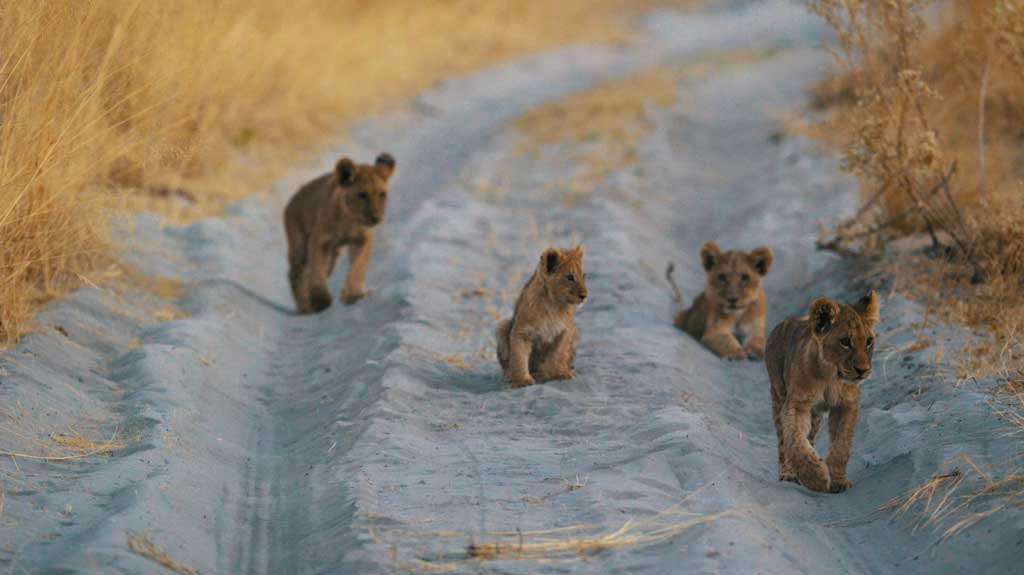 botswana-gorilla-lion-cubs-chiefs-camp-excursion