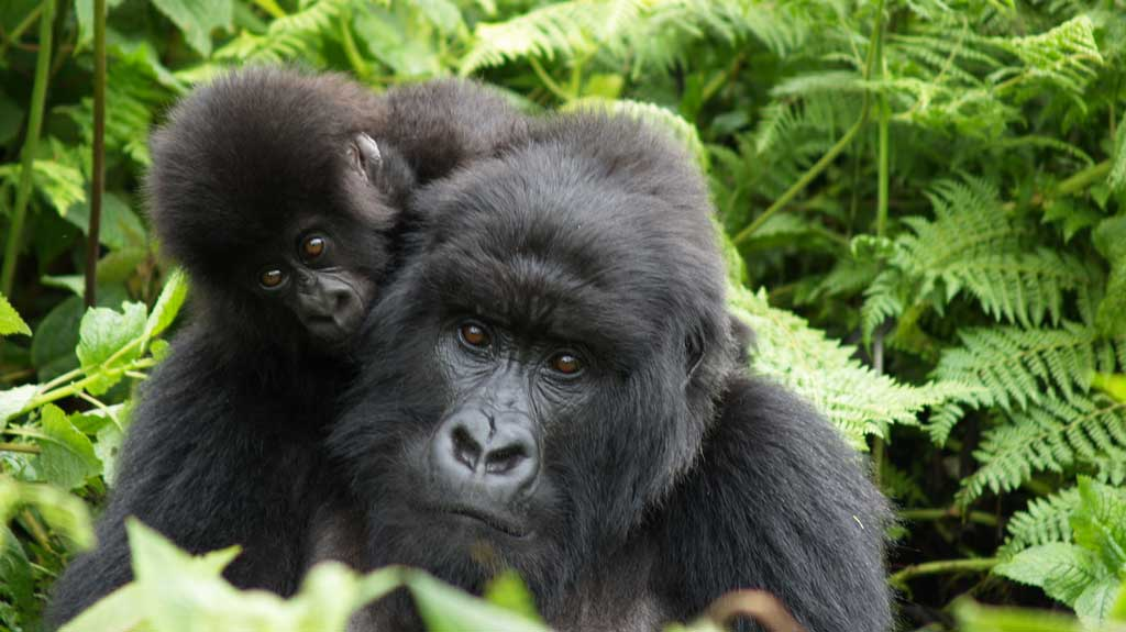 botswana-gorilla-mother-and-baby