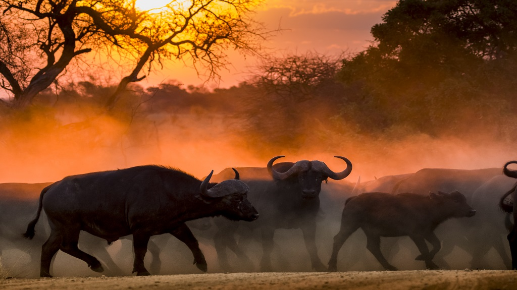 Buffalo herd at sunset in Kruger National Park South Africa