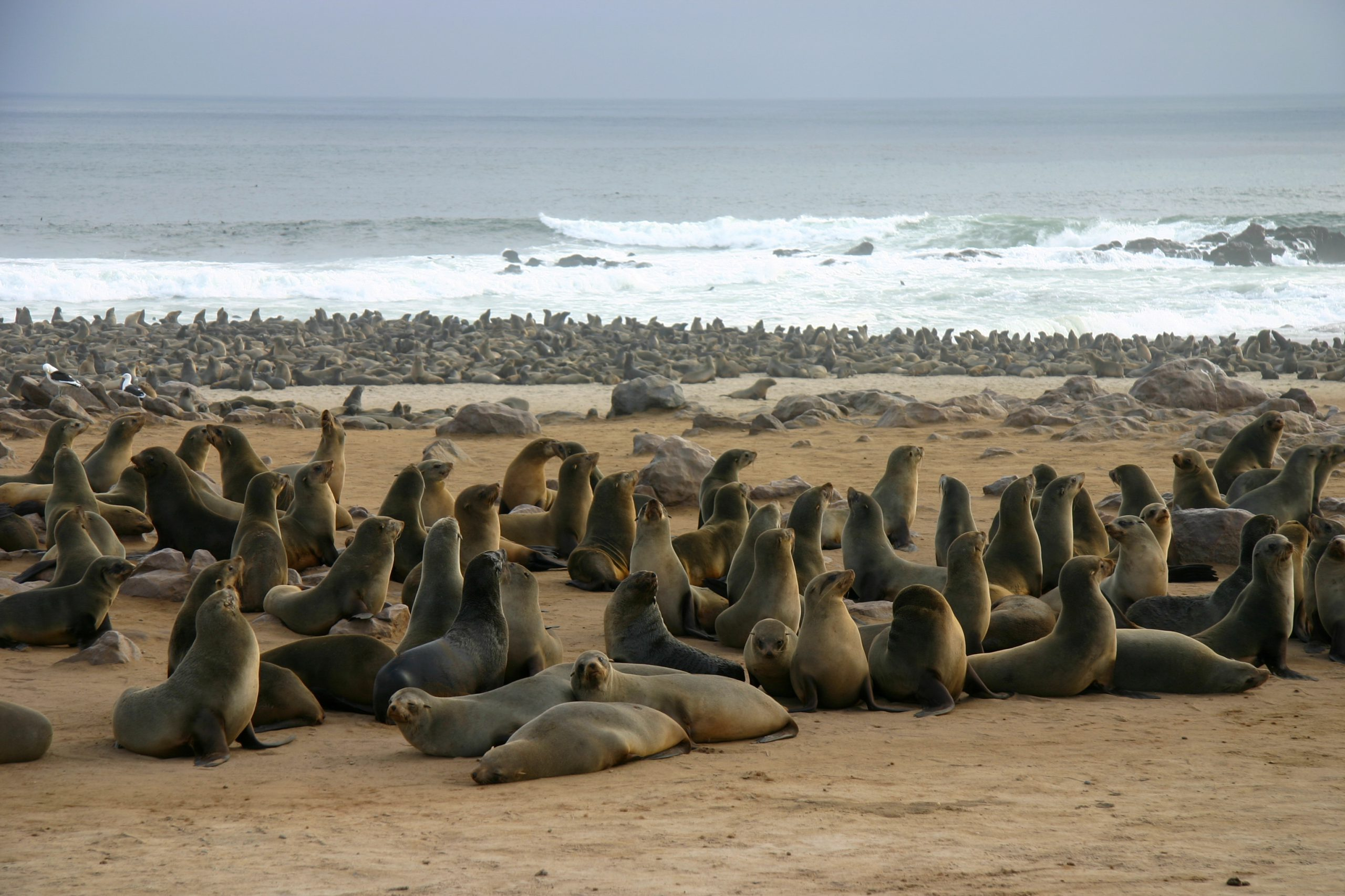 Thousands of Seals on the beach in Namibia