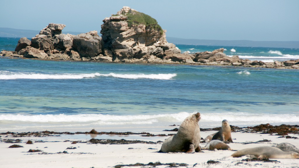 Sea-lion, Seal bay, kangaroo island, australia