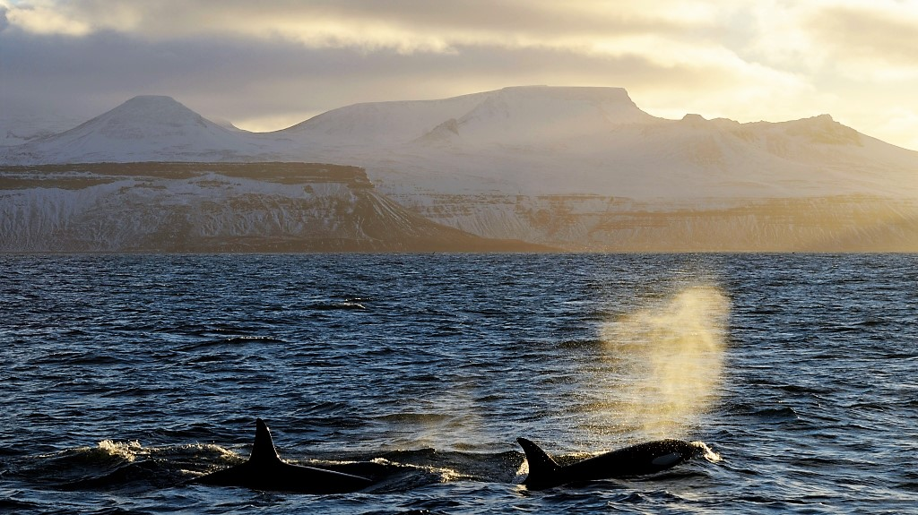Killer wahles breathing in front of Icelandic coast at sunset.
