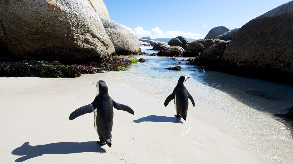 African penguin walk