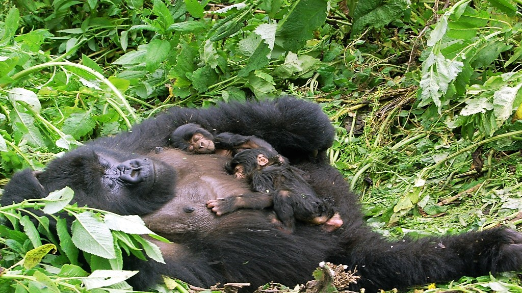 mother-gorilla-and-twins