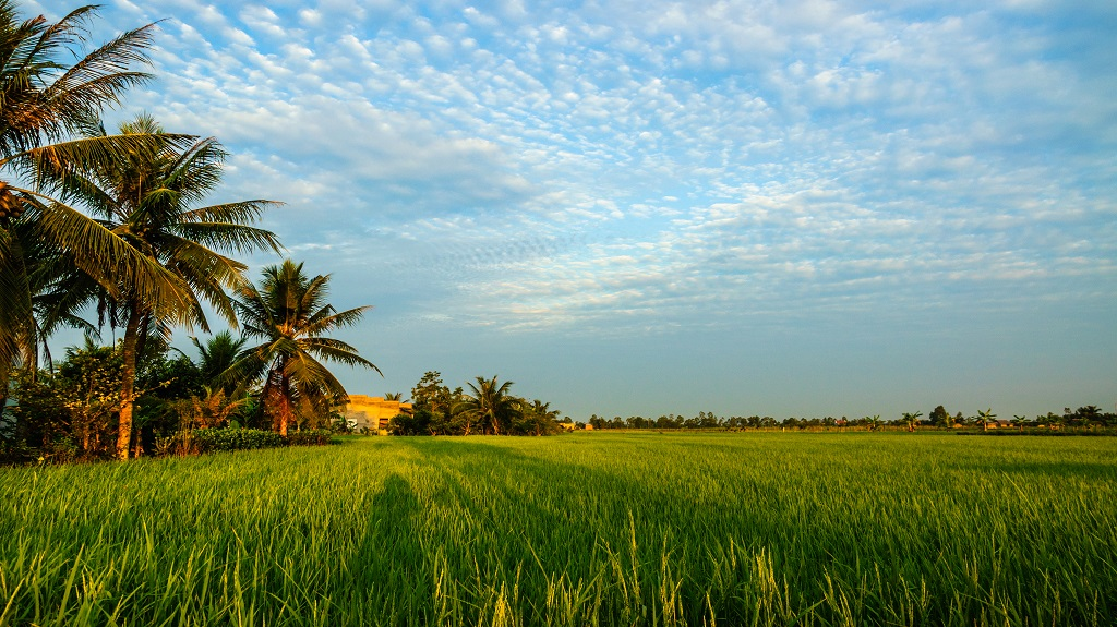 Rice field and coconut at Ben Tre province, Vietnam