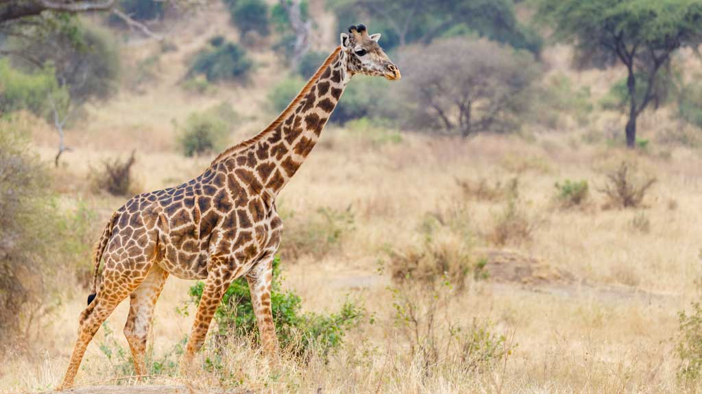tanzania-giraffe-in-tarangire-national-park